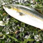 近大が開発 ブリとヒラマサの交雑魚「ブリヒラ」を独占販売/ベイシア